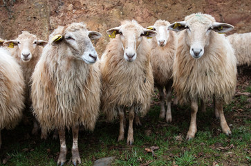 group of long wool hair sheep waiting with curiosity
