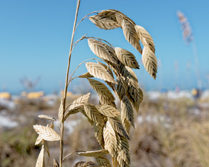 Sea oat on the dune