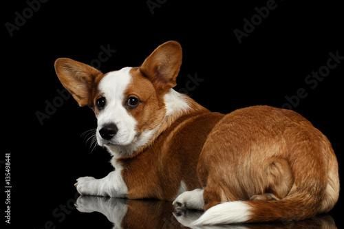 Black dog lying on back - photo#54