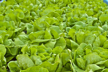 Butterhead Lettuce salad plant, green organic vegetable leaves