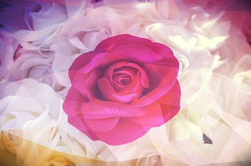 rose flower use for Valentine's Day, vintage retro filter image