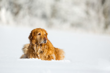 Hovawart dog portrait in snow. Perfectly executed image with focus on the animal and catch light in eye