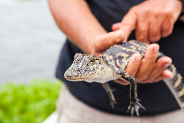 Baby alligator held by big hands in New Orleans bayou swamp