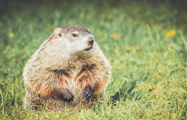 Groundhog (Marmota Monax) sitting in grass field in vintage garden setting