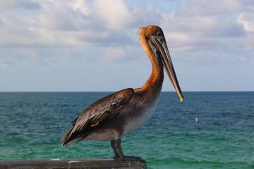 Pelicano y Mar