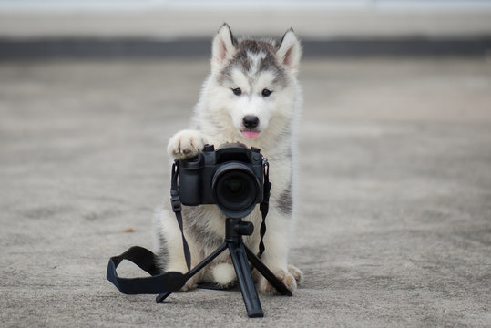 siberian husky puppy taking a photo