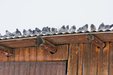 Pigeons on a roof, are heated