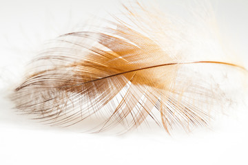 Colorful rooster feather with details and reflections