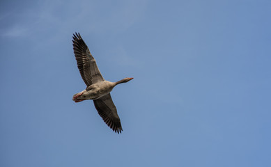 goose flying