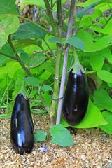 Auberginen an der Pflanze im Garten