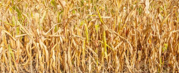 fond champ de maïs