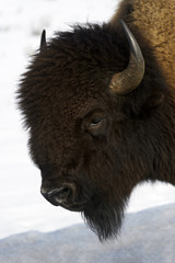 Fototapeta American Bison (Bison bison), Lamar Valley, Yellowstone National Park, Wyoming-Montana, USA