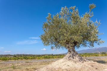 Photo sur Toile Oliviers olivier