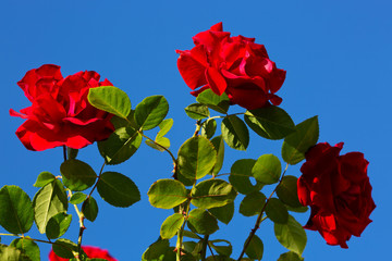 Three red roses on sunny sky.