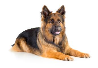 Papier Peint - German shepherd long-haired dog lying isolated
