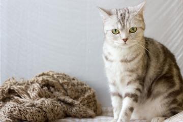 Portrait of grey britain cat.
