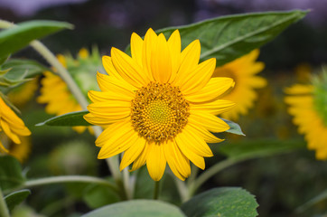 smallsunflower