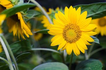 smallsunflower