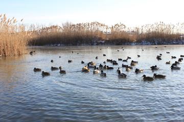 Плавающие утки на реке зимой.