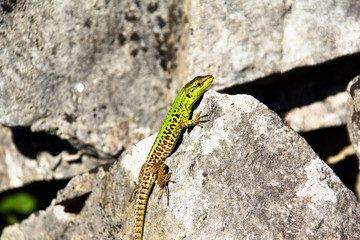Green lizard on a rock in croatia