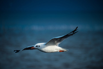 seagull flying in the sky at Bangpu, Thailand.