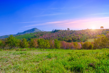 landscape view of Himalayan Cherry Blossom , also call sakura pink color with blue sky background in winter at highlands of Phetchabun District, Thailand.