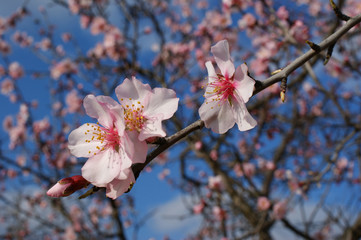 Almond tree flowers with blue sky with clouds background 6