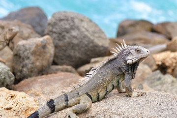 Iguana on warm rocks by the ocean in Oranjestad , Aruba