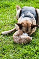 dog fighting domestic cat