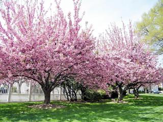 Washington sakura trees April 2010