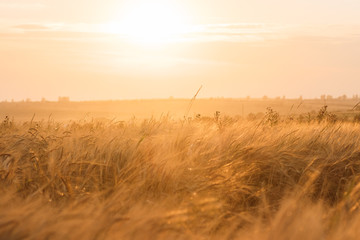 Backdrop of ripening ears of yellow wheat field on sunset orange sky background of setting sun on horizon Idea of raw materials for food, rich harvest home heavy crop, harvesting, golden sunny spike