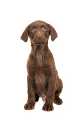 Pretty brown labrador retriever puppy seen from the front facing the camera sitting isolated on a white background