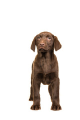 Pretty brown labrador retriever puppy seen from the front facing the camera standing isolated on a white background
