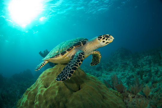 Hawksbill sea turtle in the Florida Keys
