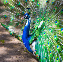 Peacock. Portrait of beautiful peacock with feathers out.