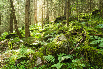 Morning sunlight breaks through the trees of a lush forest with moss and fern undergrowth in the mountains of Switzerland Wall mural