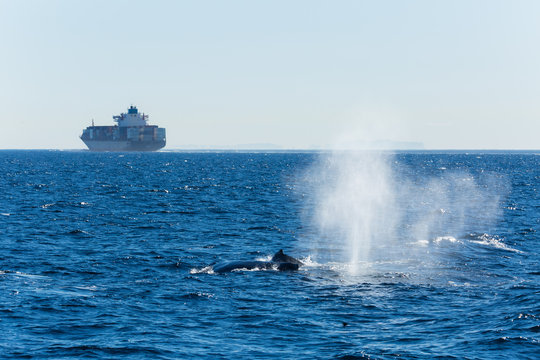 Spout from a humpback whale in the Pacific ocean with a container ship in the background
