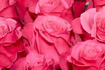 Bouquet of bright pink roses close-up. For a wide use in your de