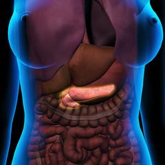 Female Pancreas with Internal Organs