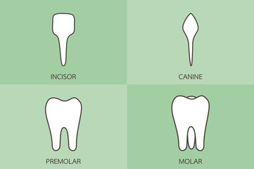 tooth type - incisor, canine, premolar, molar, dental cartoon vector