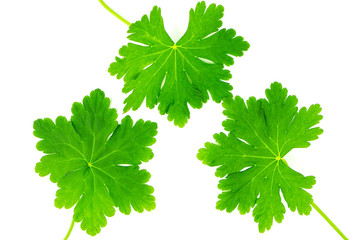 Green leaves of geranium photographed on a white background
