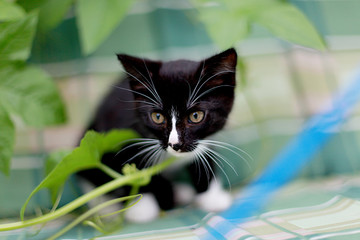 Black and white kitten on a green background
