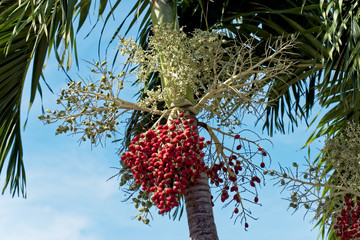 Christmas palm tree with red fruit