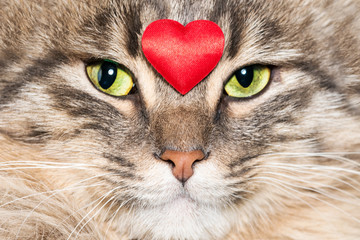 Gray tabby fluffy cat with a red heart on the face