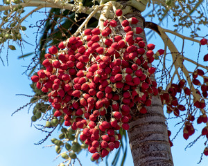 Red palm seed pod hanging from christma palm