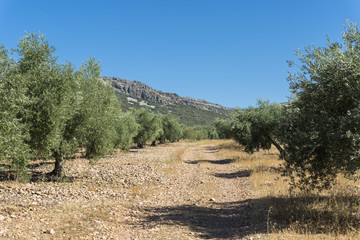 Olive groves in La Mancha, Ciudad Real, Spain, with Toledo Mountains in the background.