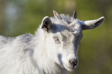Baby goat portrait with green background