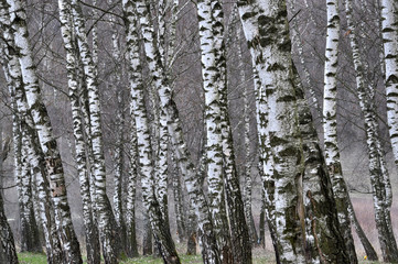background stems from a large number of white birch
