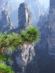 Branches of a Fir-tree or Pine in Tianzi Mountain (Avatar) of Zhangjiajie National Park, China.