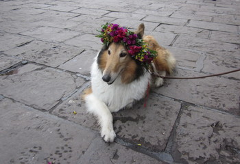 Collie dog wearing a crown of flowers.